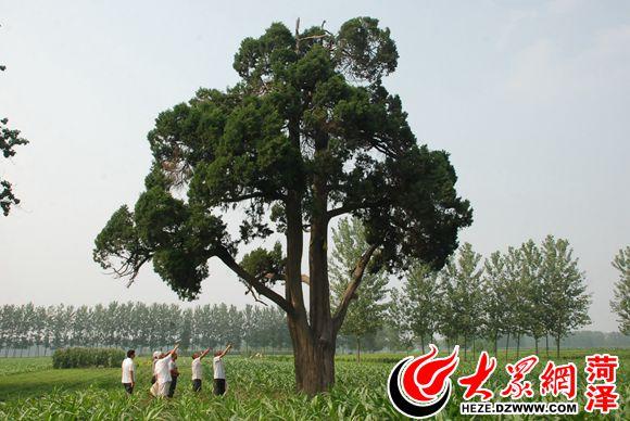 寻访菏泽古树 :张氏族人共同守望的400年古侧