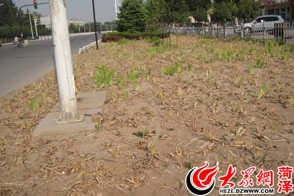园林工作人员正在给栽种的绿化植物浇水  在中华西路的新栽种绿化植物已经干枯  在重庆路的部分树苗树叶已经干枯 大众网菏泽8月21日讯(见习记者 钟博陵)进入8月份以来,菏泽城区持续高温无降雨,天气干旱,许多新栽的花草树苗旱情严重。为了抢救这些植物,工作人员一天要浇十几车水。 今天上午,大众网记者在菏泽环城公园路看到,一些园林工人正在为道路两旁绿化带的小树苗浇水。我们每天都要顶着太阳为花草树苗浇水,一天要浇十几车水,已经持续十几天了。即使这样,新栽种的小树苗还是死了不少。这温度太高了,浇水也不是好办法,唯
