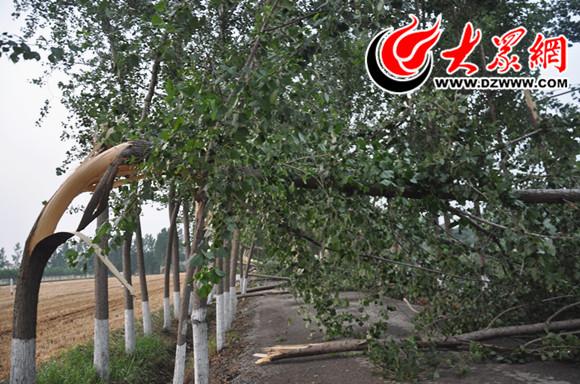 粗壮的大树损伤严重,远处更是被成排地吹倒在地