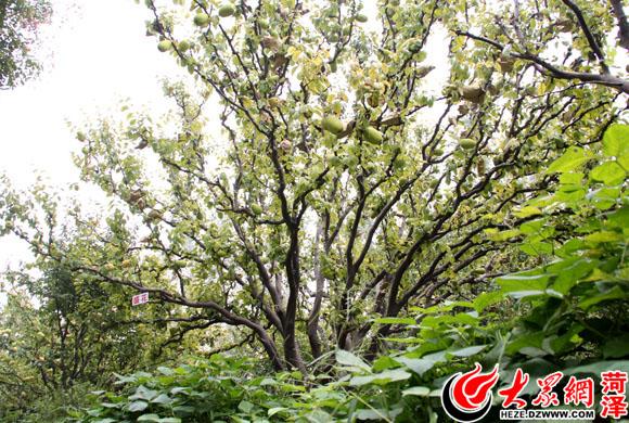 菏泽:47棵明朝木瓜树今年可结果8000余斤